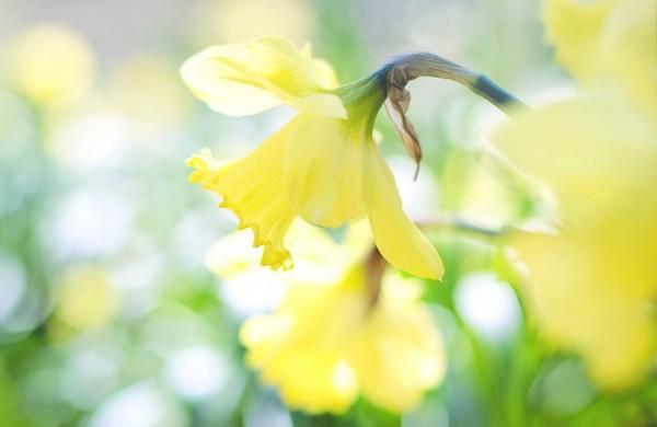 daffodil-1358942_1920