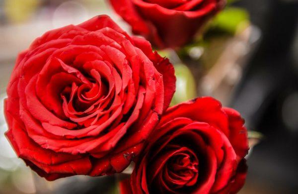 rose-3102915_1280