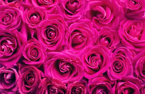 pink-roses-2249403_1920